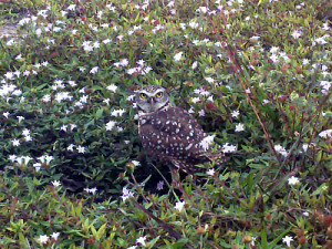 Burrowing Owl Survey